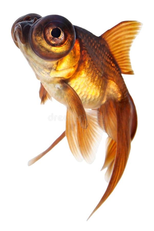 De goudvis van het telescoopoog stock fotografie
