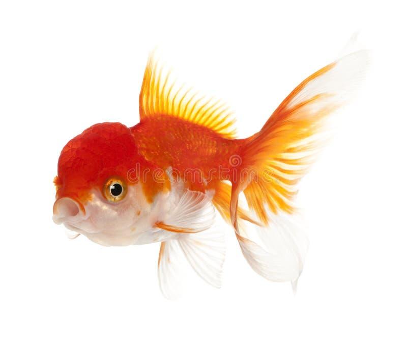 De goudvis van Lionhead, auratus Carassius royalty-vrije stock afbeelding