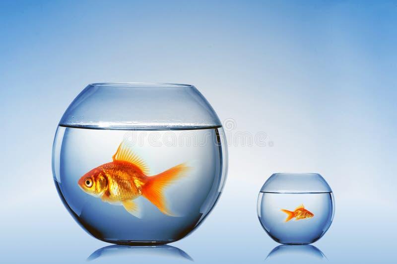 De goudvis zwemt stock foto