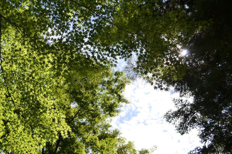 De gröna lönnlöven Pic togs i Augusti 2017 royaltyfria foton