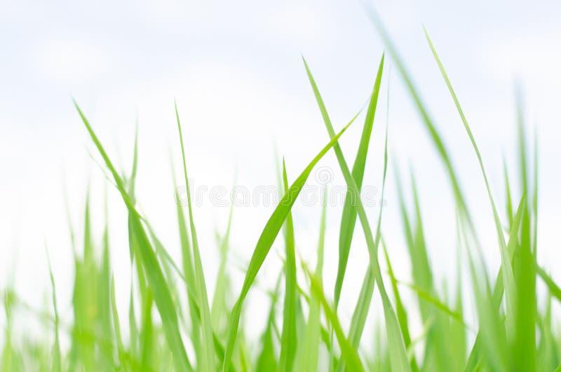 De gröna lövrika forsarna av unga trädet av risfält royaltyfria foton