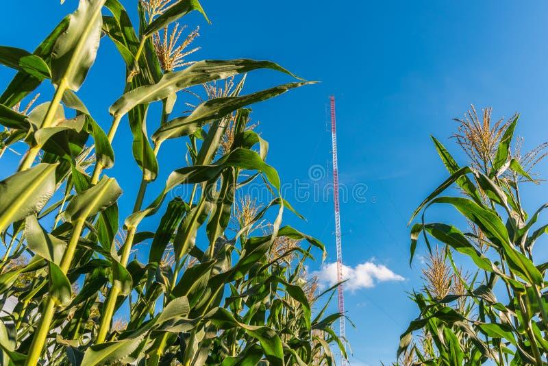De graanbomen op organisch graangebied met mededeling zenden toren in duidelijke blauwe hemel via de radio uit royalty-vrije stock foto's