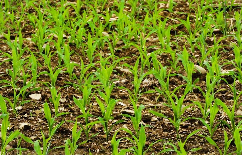 De graanstelen groeien in heet de lenteweer van NYS stock fotografie
