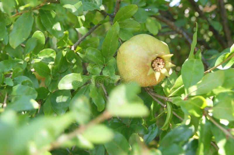 De granaatappel is niet rijp royalty-vrije stock foto's