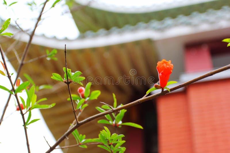 De granaatappelbloem is zeer mooi In de dikke takken die in één strand charmante bloem hangen royalty-vrije stock afbeeldingen