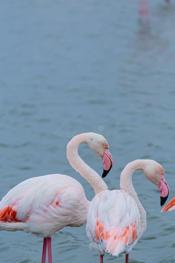 De grands flamants roses avec des becs et des plumes roses sur fond de lac bleu flou photos libres de droits