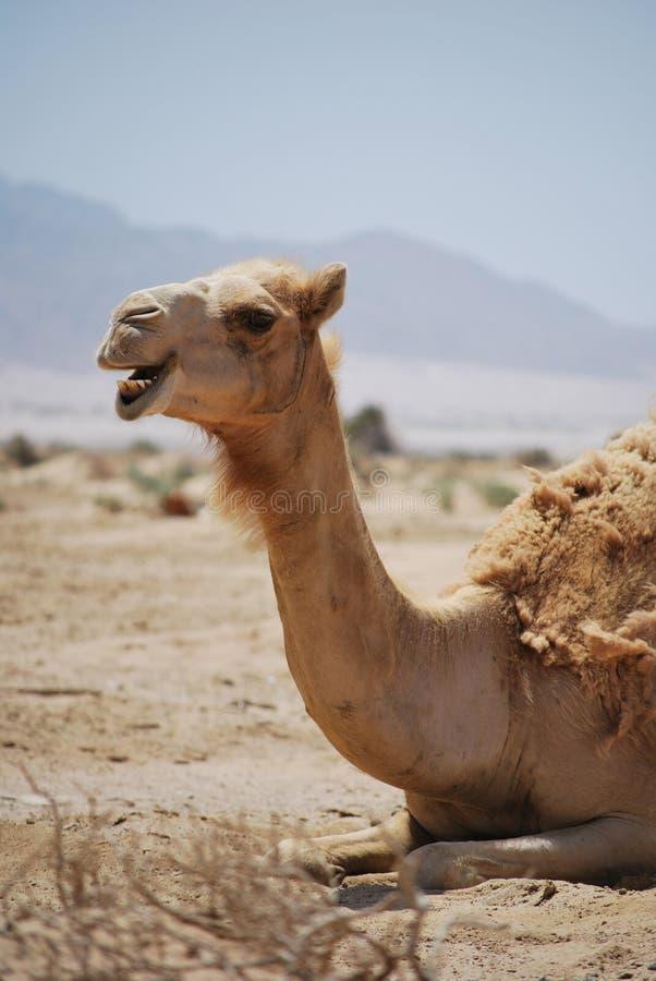 De grappige close-up die van het kameelportret in camera kijken royalty-vrije stock afbeelding
