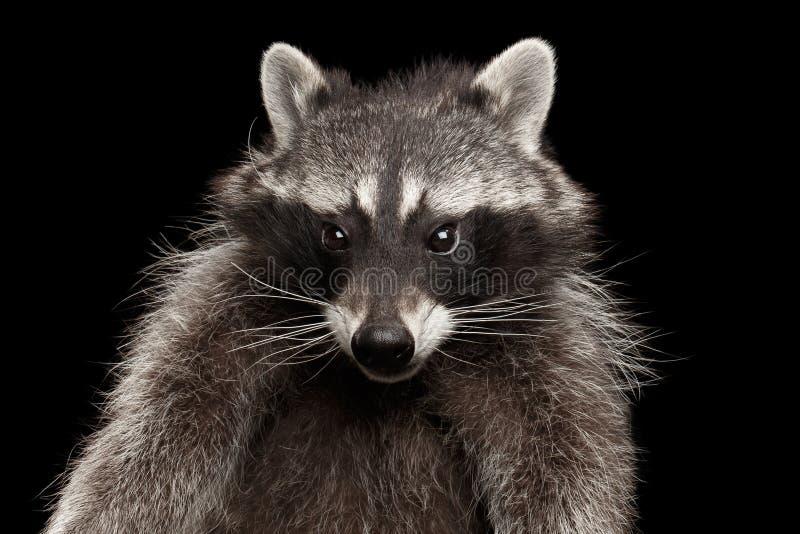 De Grappige die Wasbeer van het close-upportret op Zwarte Achtergrond wordt geïsoleerd stock foto