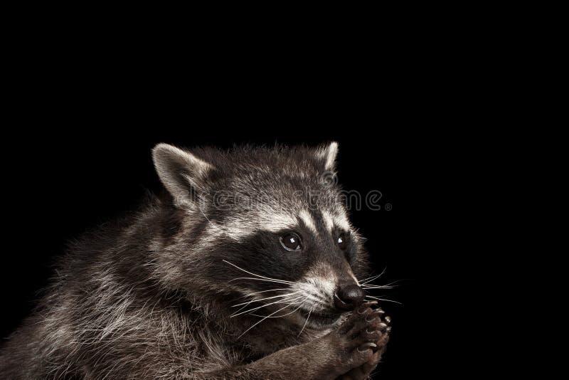 De Grappige die Wasbeer van het close-upportret op Zwarte Achtergrond wordt geïsoleerd stock afbeelding