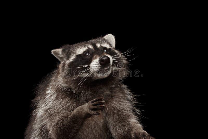 De Grappige die Wasbeer van het close-upportret op Zwarte Achtergrond wordt geïsoleerd royalty-vrije stock fotografie