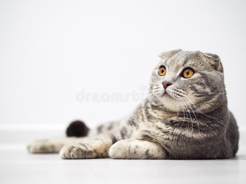 De grappige ernstige Schotse vouwenkat met heldere gele ogen ligt op vloer stock foto's