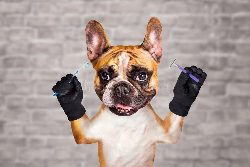 De grappige Franse buldog van de hondgember groomer houdt borstel en scheermes in ochtend om uw tanden te wassen en te borstelen  stock afbeelding