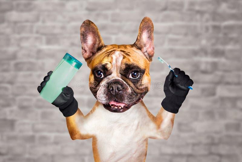 De grappige Franse buldog van de hondgember groomer houdt borstel en shampoo in de ochtend om tanden te wassen en te borstelen Me stock fotografie