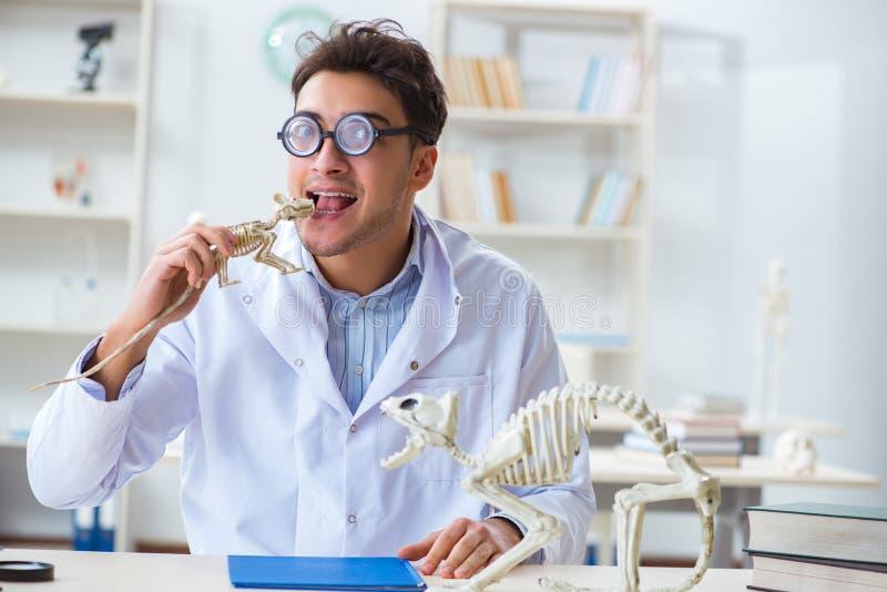 De grappige gekke student arts die dierlijk skelet bestuderen royalty-vrije stock afbeelding
