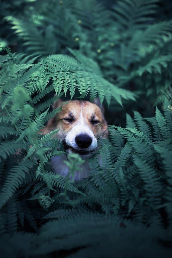 de grappige het puppygangen van de corgihond in het park en verborgen in de dikke bladeren van een varen en plakten uit één neus royalty-vrije stock fotografie