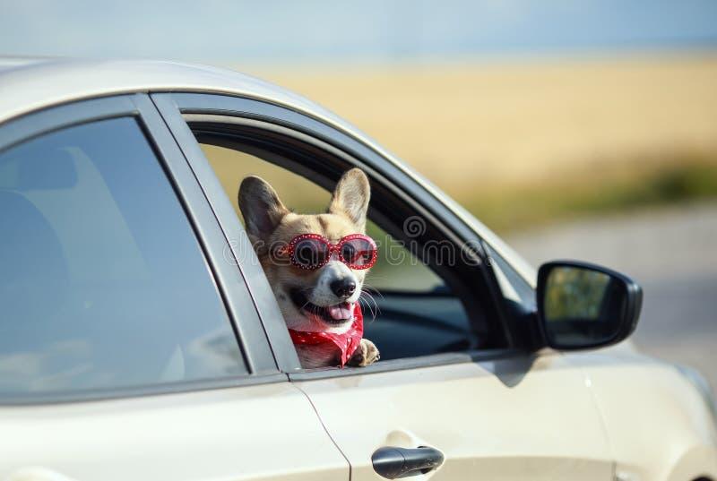 De grappige het puppyhond van passagiers rode corgi in zonnebril plakte vrij zijn snuit uit het autoraam terwijl het reizen van d stock afbeelding