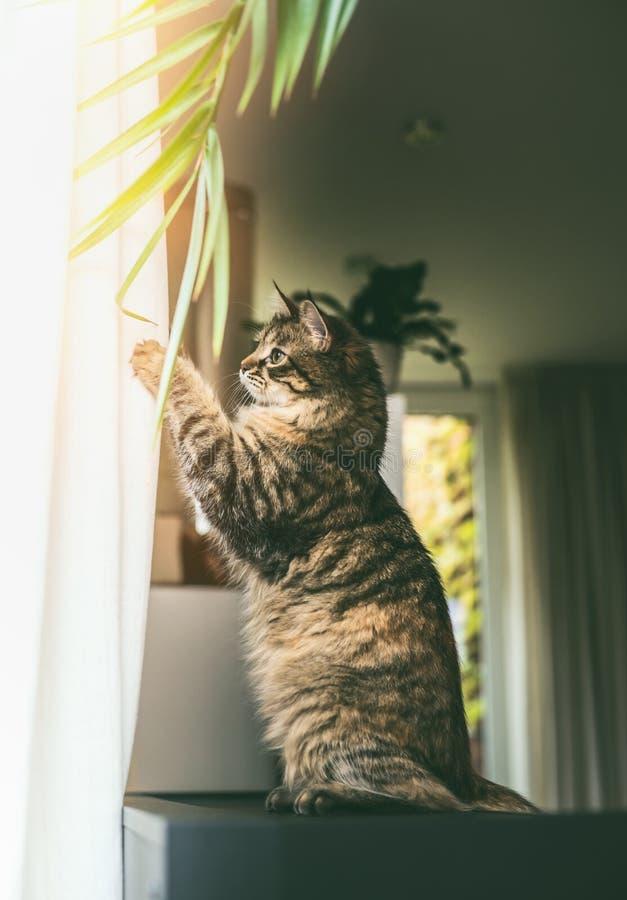 De grappige jonge kat zit op zijn achterste benen en speelt met het hangen van de bladeren van de huisinstallatie bij venster in  stock foto's