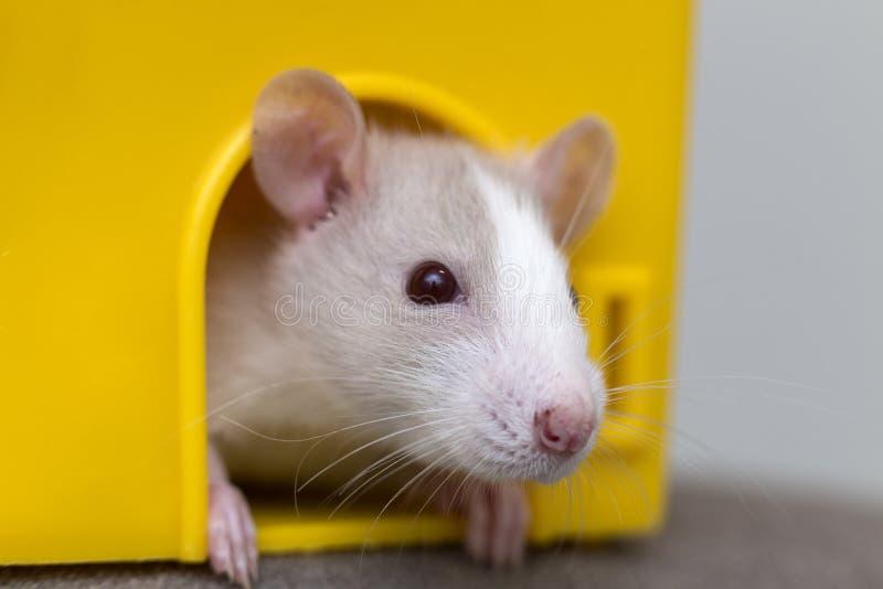 De grappige jonge witte en grijze tamme nieuwsgierige baby die van de muishamster met glanzende ogen van helder geel kooivenster  royalty-vrije stock fotografie