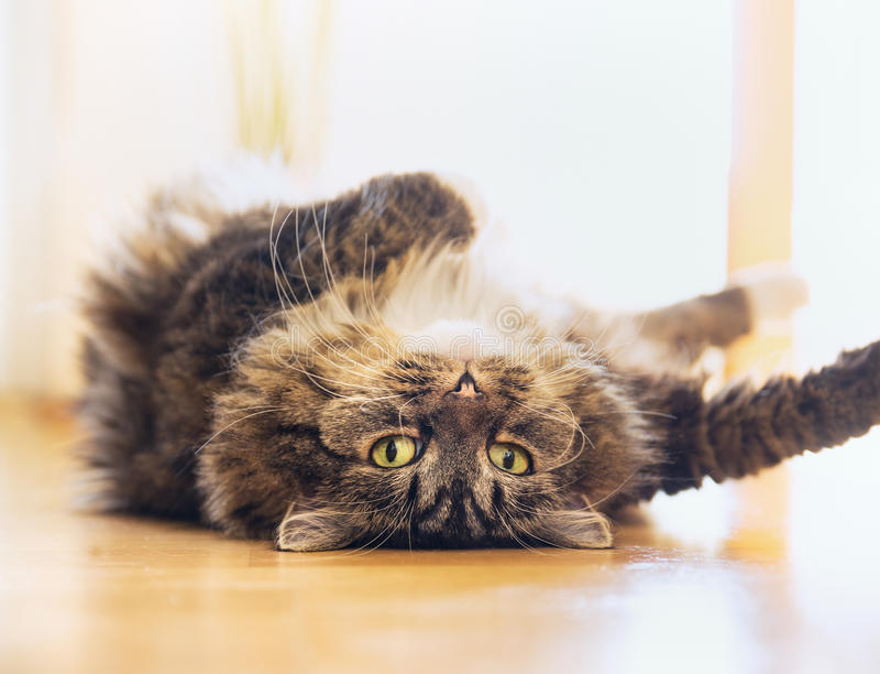 De grappige kat ligt ontspannen op zijn rug en kijkt speels in de camera stock fotografie