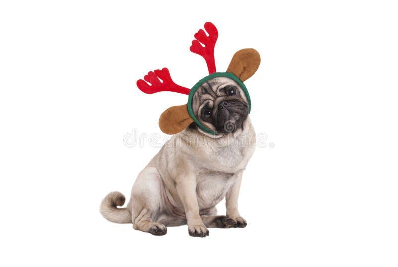 De grappige Kerstmispug zitting die van de puppyhond neer, het diadeem van rendiergeweitakken dragen stock foto