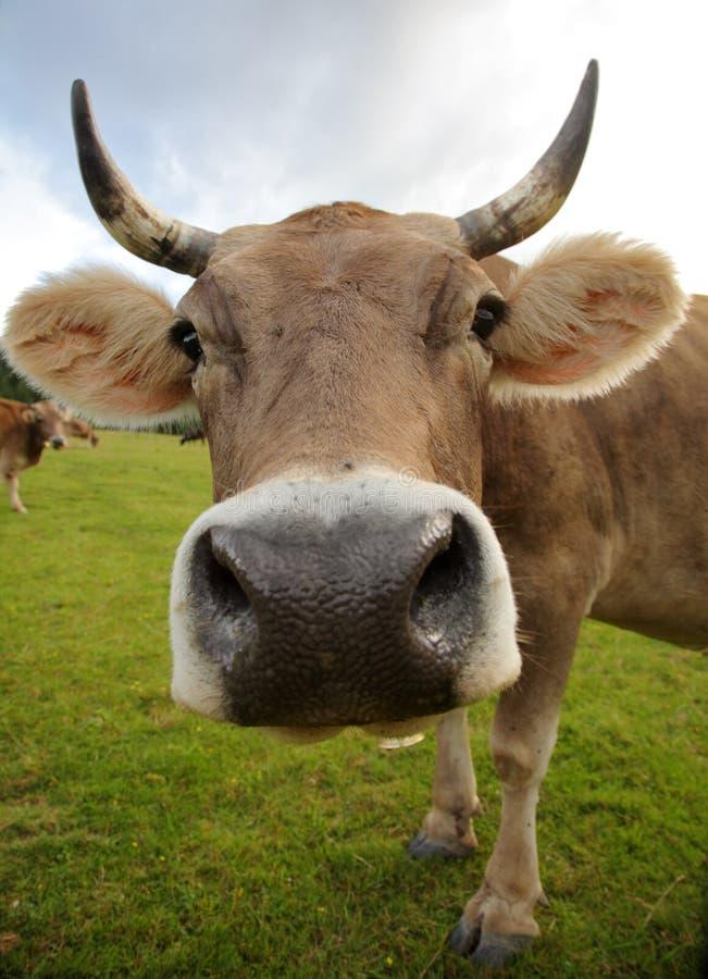 De grappige koe stock afbeelding