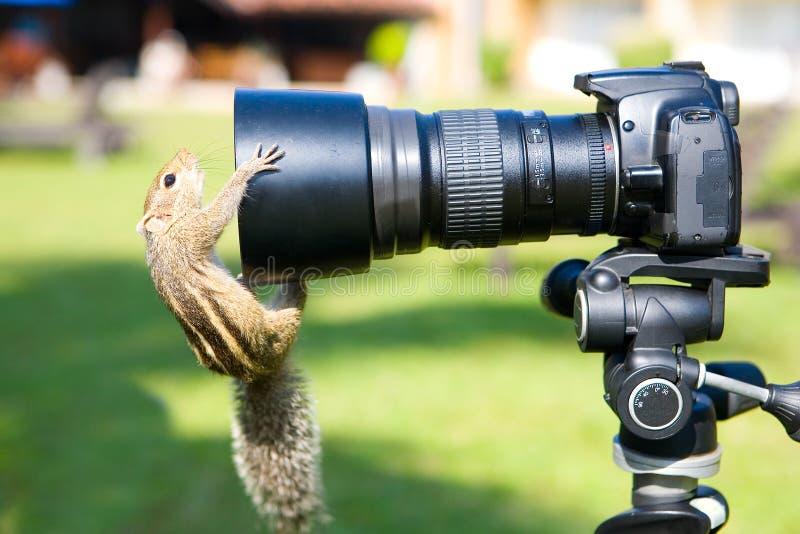 De grappige palmeekhoorn onderzoekt de lens van de camera stock fotografie