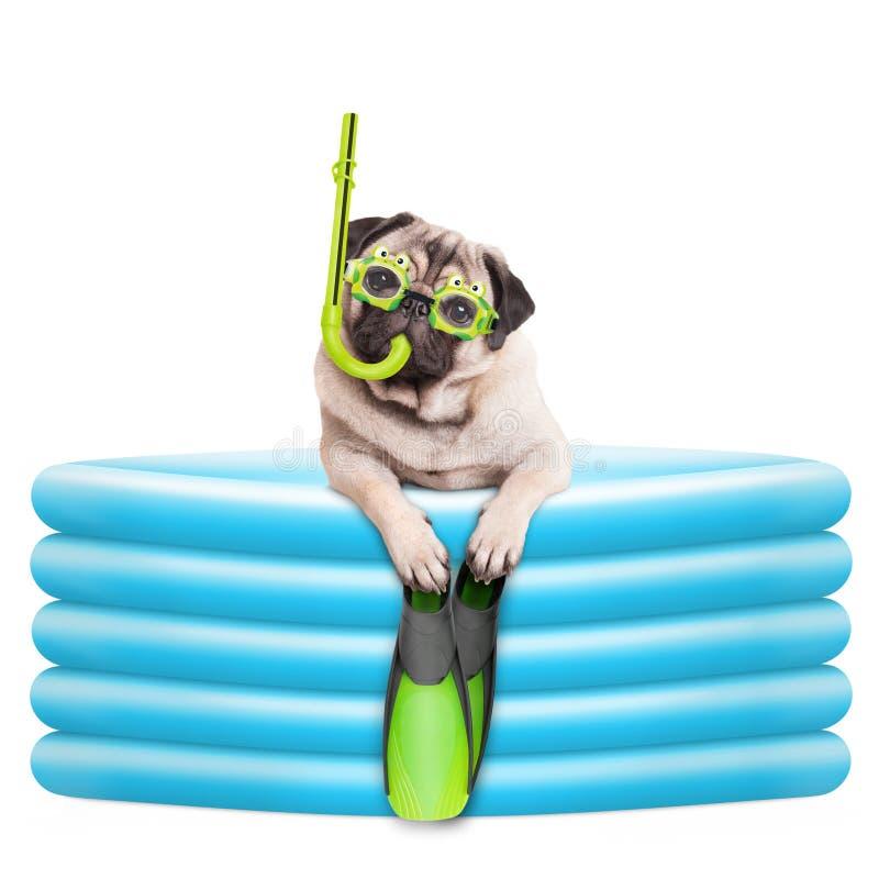 De grappige summerly pug hond met beschermende brillen, snorkelt en vinnen in opblaasbare pool stock afbeeldingen