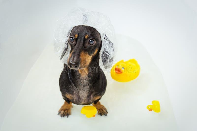 De grappige tekkel, zwarte en tan, neemt een bad die met gele plastic eend, het baden GLB dragen Hondwassen royalty-vrije stock fotografie