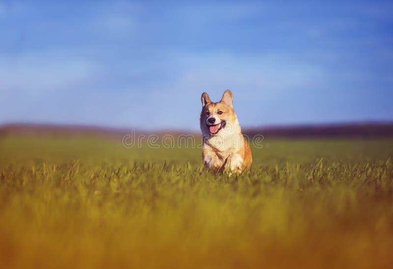 de grappige vrolijke looppas van Corgi van de puppyhond door de groene Zonnige duidelijke weide in het dorp in de lente stock foto's