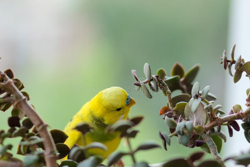 De grasparkiet zit op een tak De papegaai is helder citroengeel De vogelpapegaai is een huisdier Mooie, huisdieren golvende papeg stock foto's