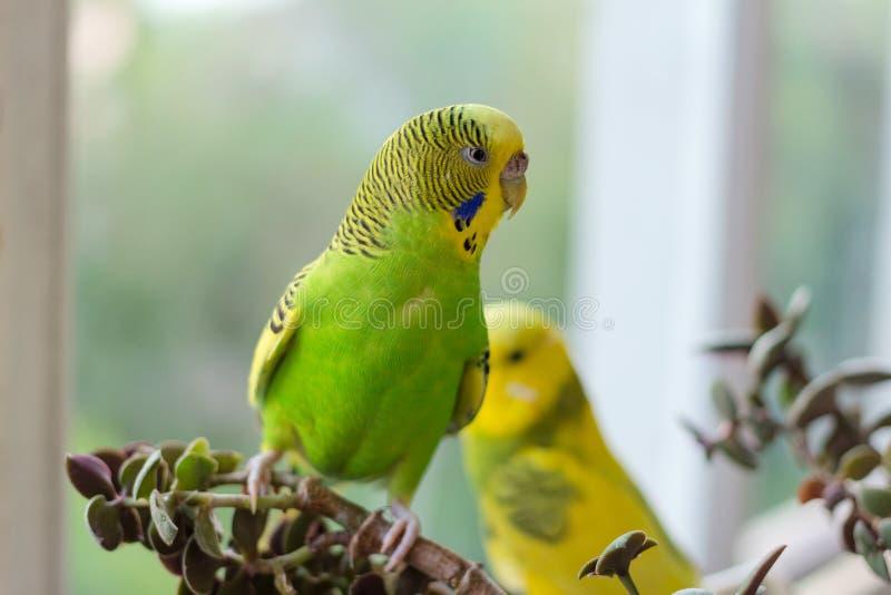 De grasparkiet zit op een tak De papegaai is helder citroengeel De vogelpapegaai is een huisdier Mooie, huisdieren golvende papeg royalty-vrije stock afbeelding