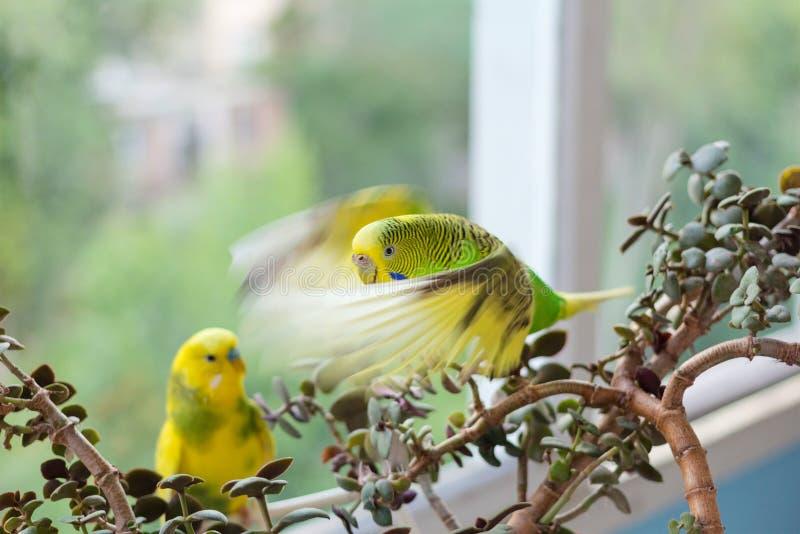 De grasparkiet zit op een tak De papegaai is helder groen-gekleurd De vogelpapegaai is een huisdier Mooie, huisdieren golvende pa stock afbeelding