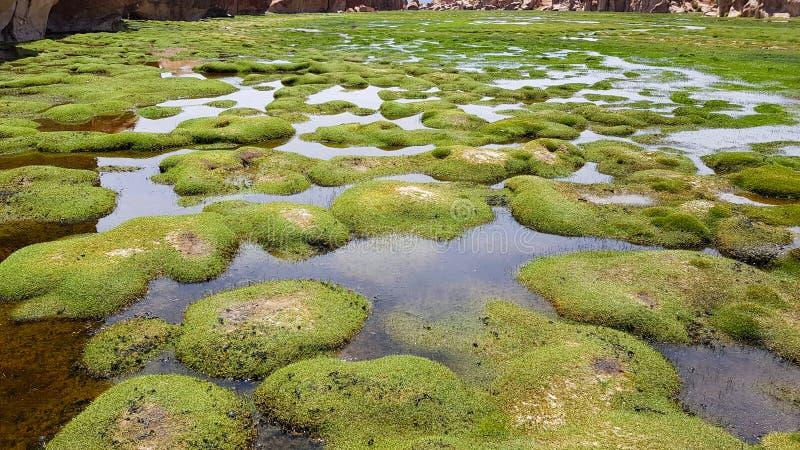 De grasrijke grond waar de lama's binnen Laguna Negra, Bolivië weiden royalty-vrije stock fotografie