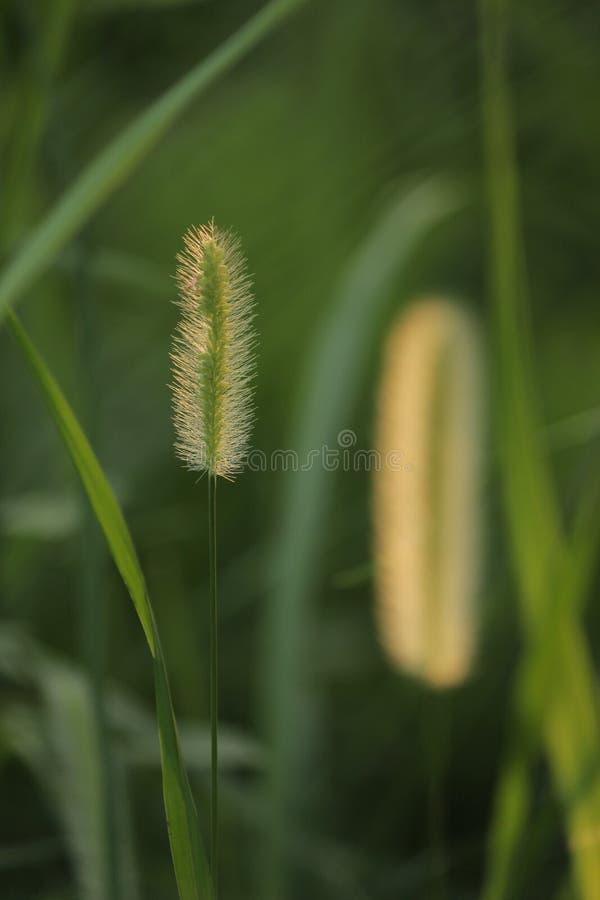 de grassen van de moessonregen stock foto's