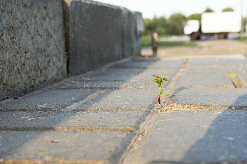 De grasspruit maakt zijn manier door asfalt Jongelui schiet onderbrekingen door het beton royalty-vrije stock foto's