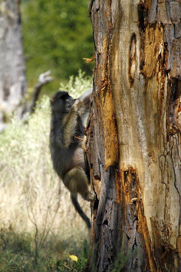 De grasvlakteBaviaan van de boom. stock fotografie