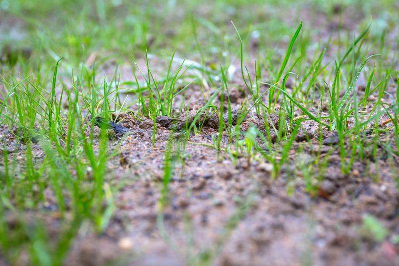 De graszaden beginnen op de grond in de tuin te groeien stock foto