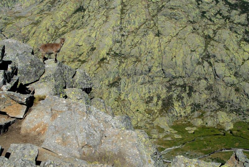 Download De Gredos Toppig Bergskedja Fotografering för Bildbyråer - Bild av däggdjur, liggande: 19782401