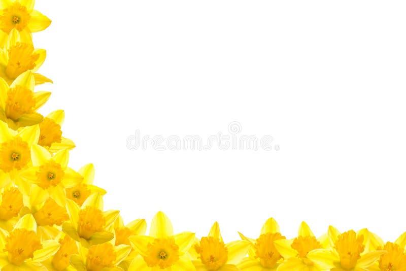 De Grens van de gele narcis stock afbeeldingen