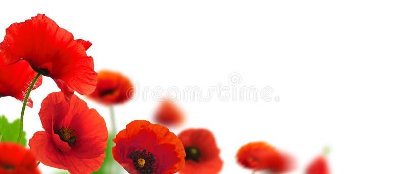 De grens van papavers - de tuin van de lentebloemen stock afbeelding