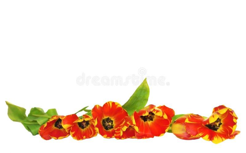 De grens van tulpen royalty-vrije stock afbeeldingen