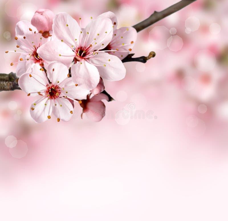 De grensachtergrond van de lente met roze bloesem stock foto's