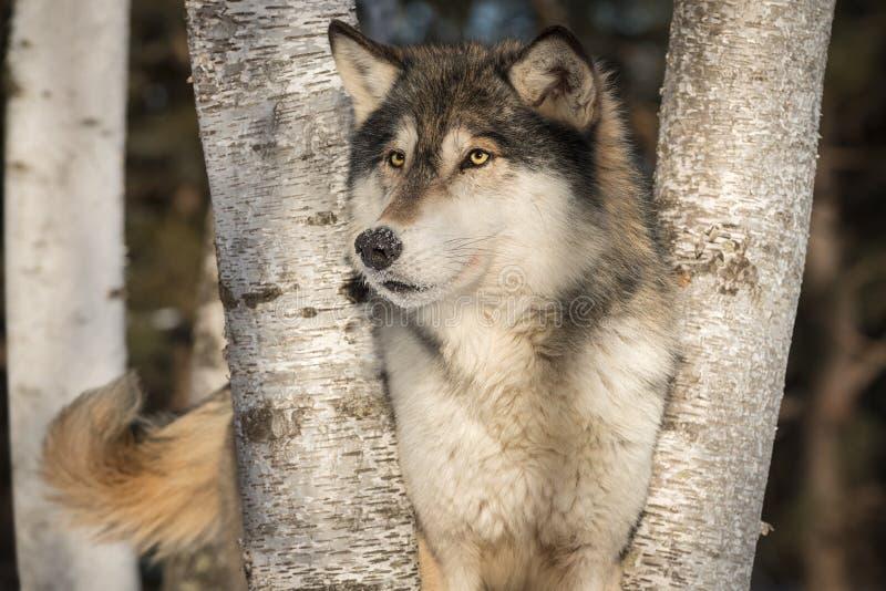 De Grey Wolf Canis do lúpus dos olhares sacudir da cauda para fora fotografia de stock royalty free