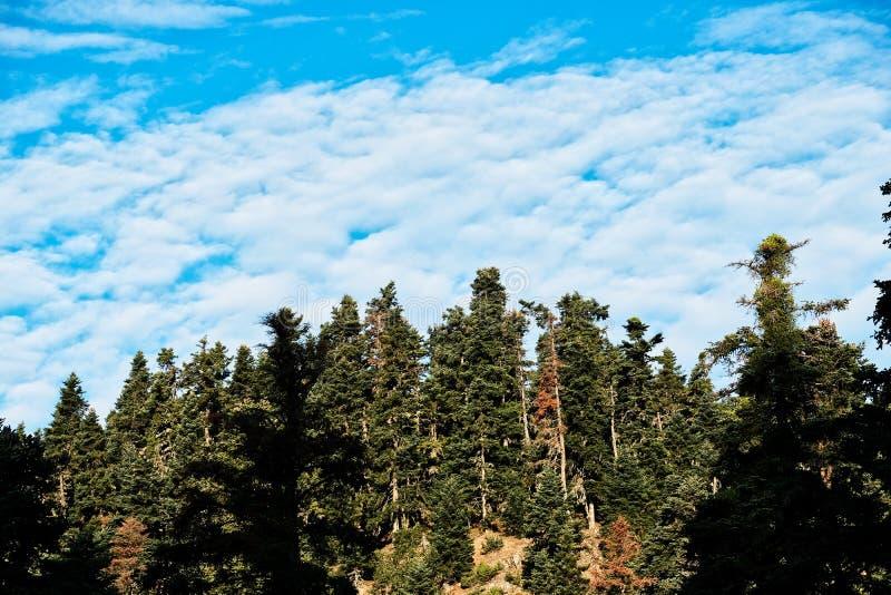 De Griekse Bos en Pluizige Witte Wolken van de Bergpijnboom stock fotografie