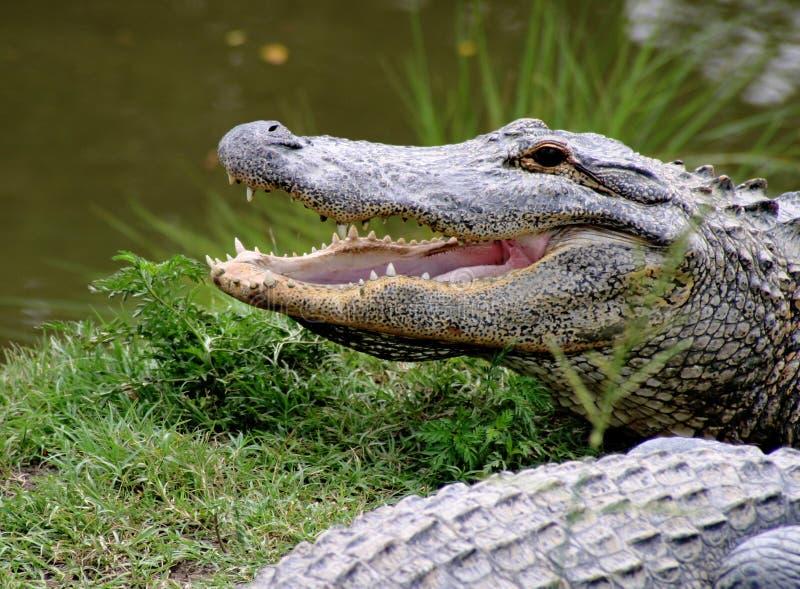 De Grijns van Gator royalty-vrije stock afbeeldingen
