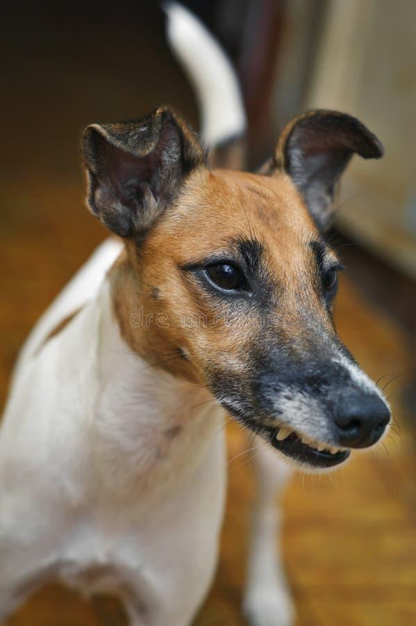De grijnzen van de hondfox-terrier in de ruimte royalty-vrije stock fotografie