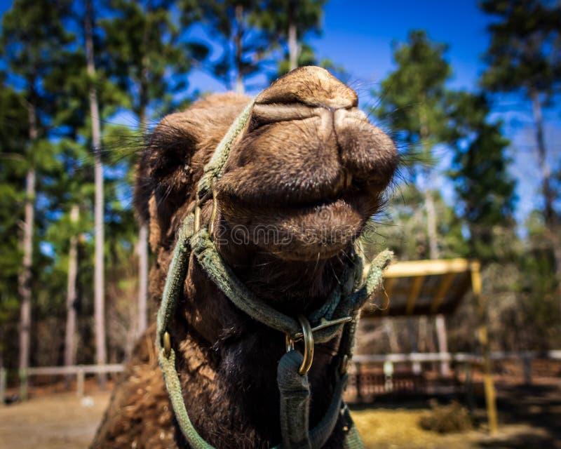De grijnzen van een dromedariskameel voor de camera bij het wild redden dierentuin royalty-vrije stock foto