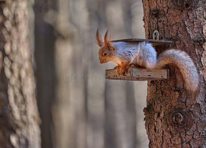 De grijs-rode eekhoorn loopt door het de lentepark en zoekt voedsel royalty-vrije stock fotografie
