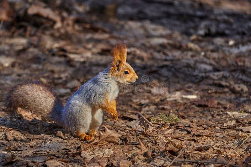 De grijs-rode eekhoorn loopt door het de lentepark en zoekt voedsel royalty-vrije stock foto