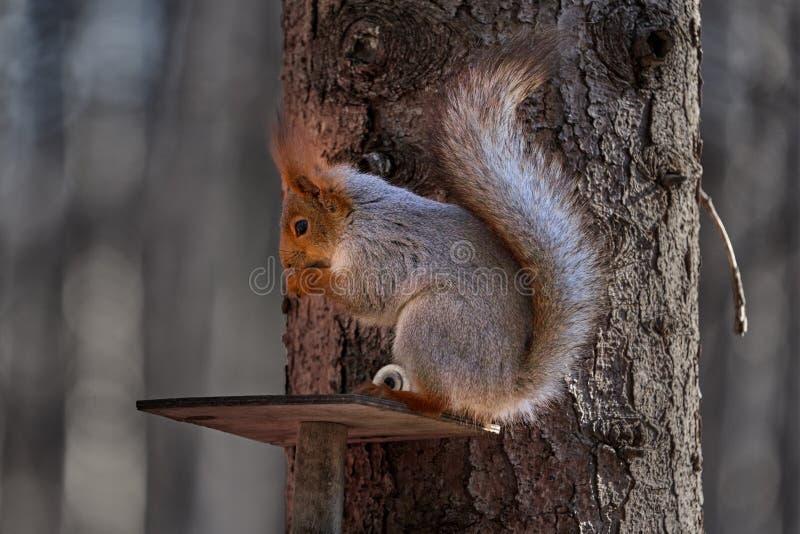 De grijs-rode eekhoorn loopt door het de lentepark en zoekt voedsel stock fotografie